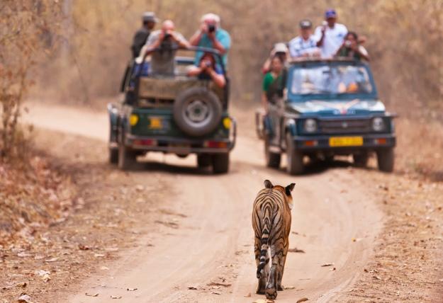 Tourists on safari taking photos of a tiger