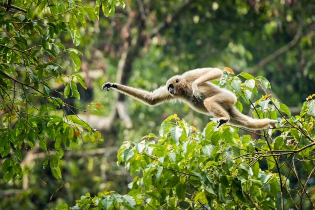 A gibbon leaping between the trees
