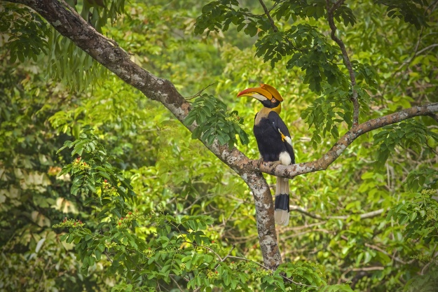 Hornbill sitting in a tree in the rainforest