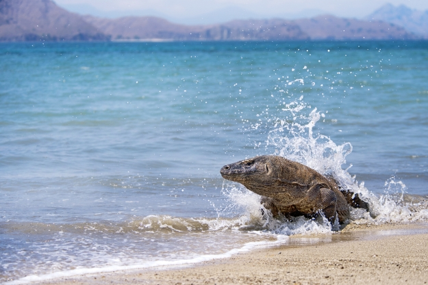 Komodo Dragon on the beach