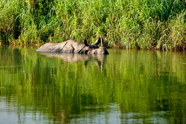 Rhino submerged in water