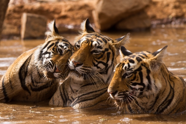 Tiger family in a watering hole