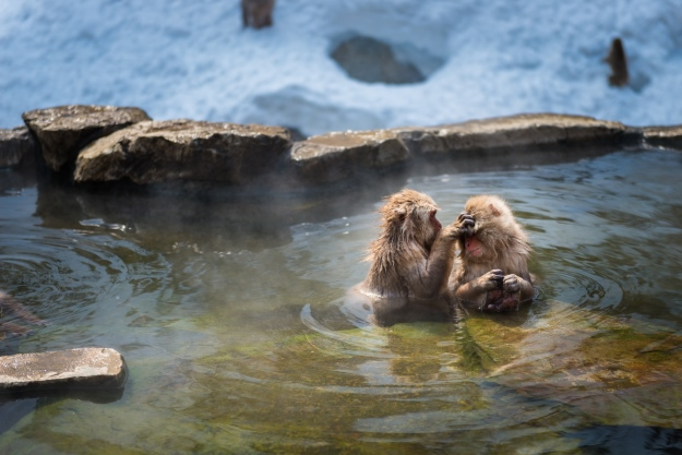 Snow monkeys bathing in a hot spring pool.