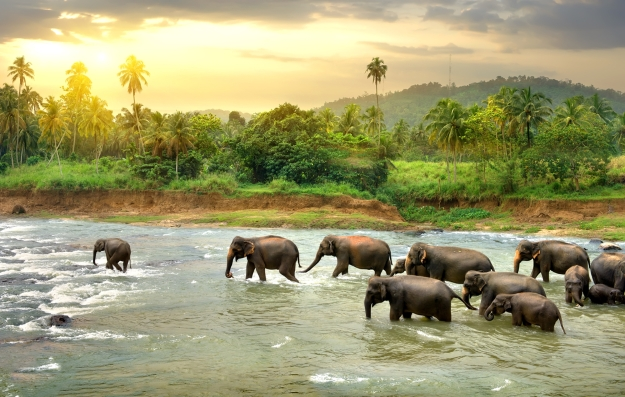 Elephants walking along a river in Sri Lanka