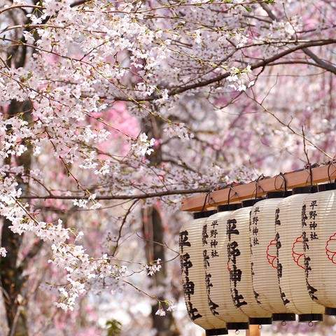 Marvel at Japan's best<br/>Cherry Blossom scenes