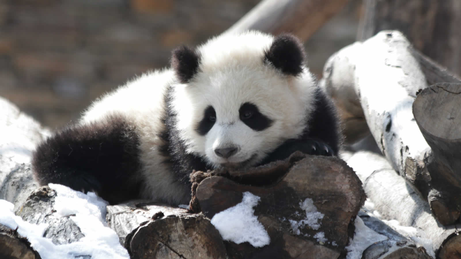 In Pursuit of Pandas - Christmas Special Tour | Wendy Wu Tours