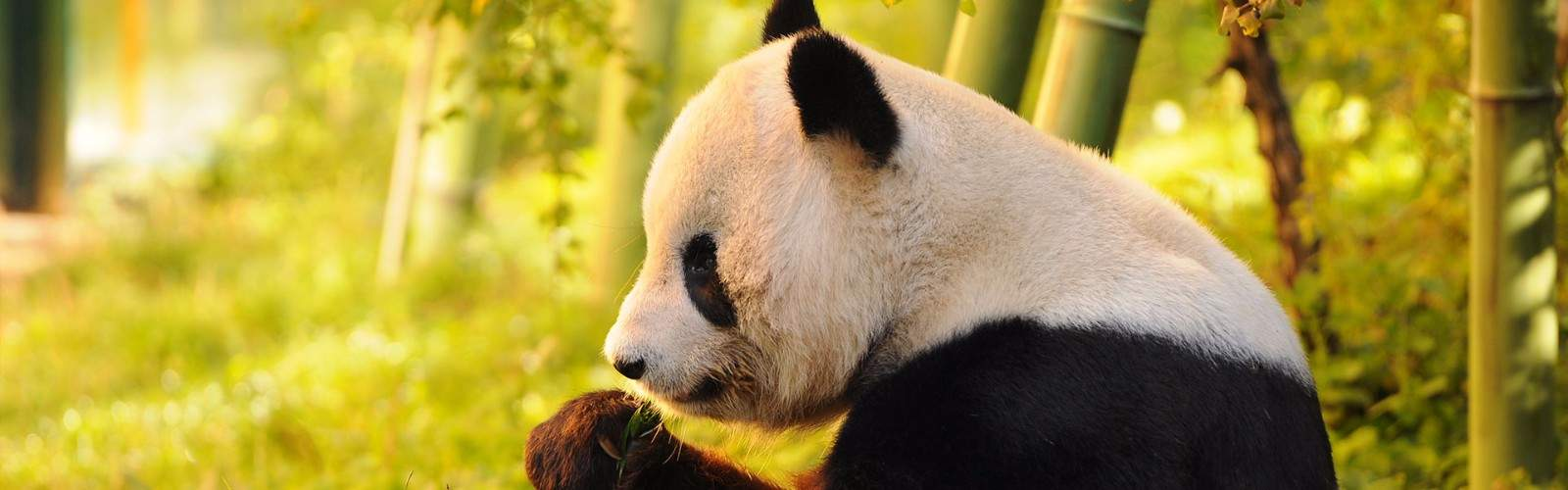 In Pursuit of Pandas Tour | Wendy Wu Tours