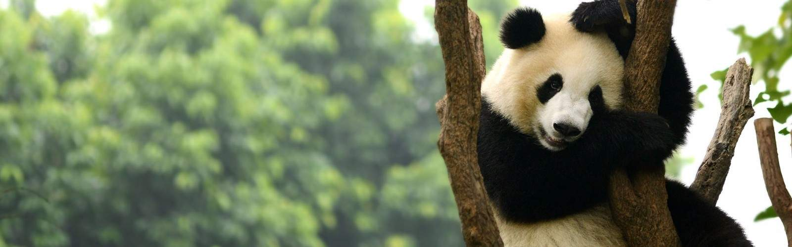 In Pursuit of Pandas Private Tour Tour | Wendy Wu Tours