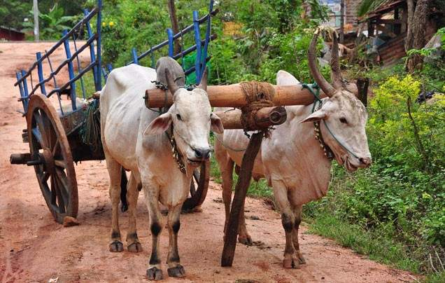 Day 10 Rural Rajasthan by bullock cart